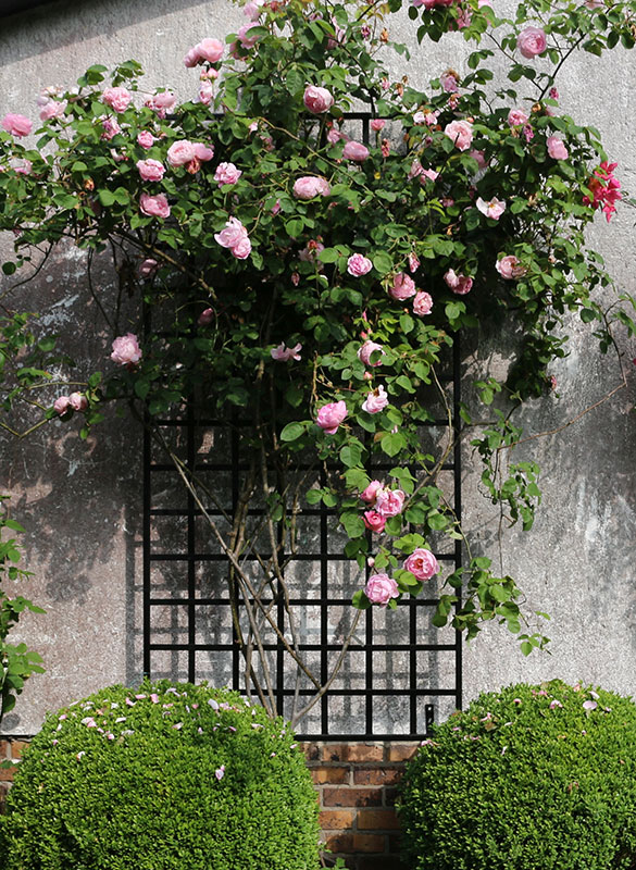 wall attached iron garden trellis with austin rose constance spry