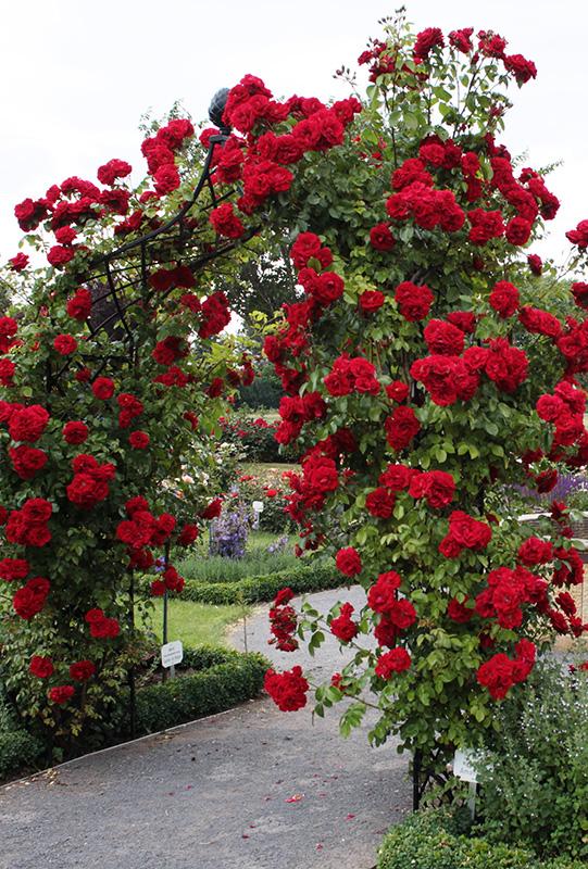 Kordes Rose Garden