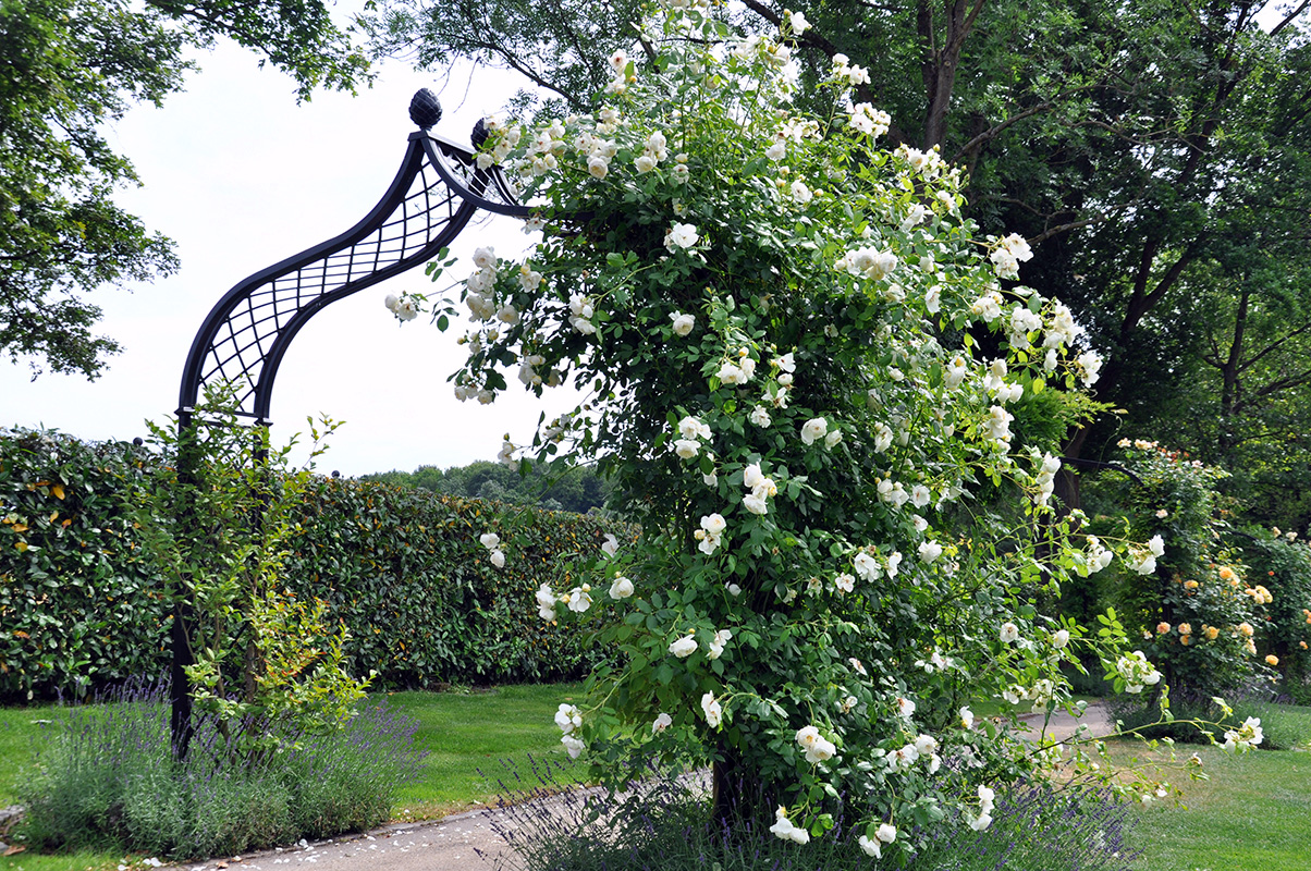 freestanding Victorian Rose Arch Brighton with white rambler rose