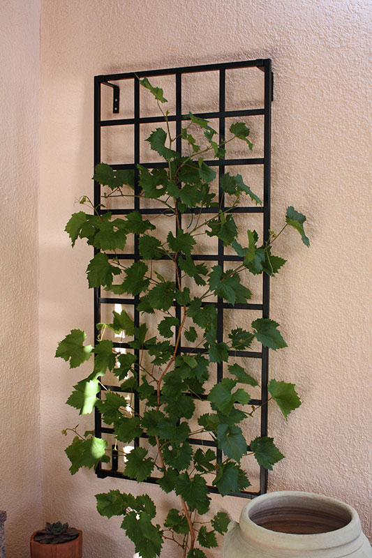 wall mounted iron garden trellis covered with vines