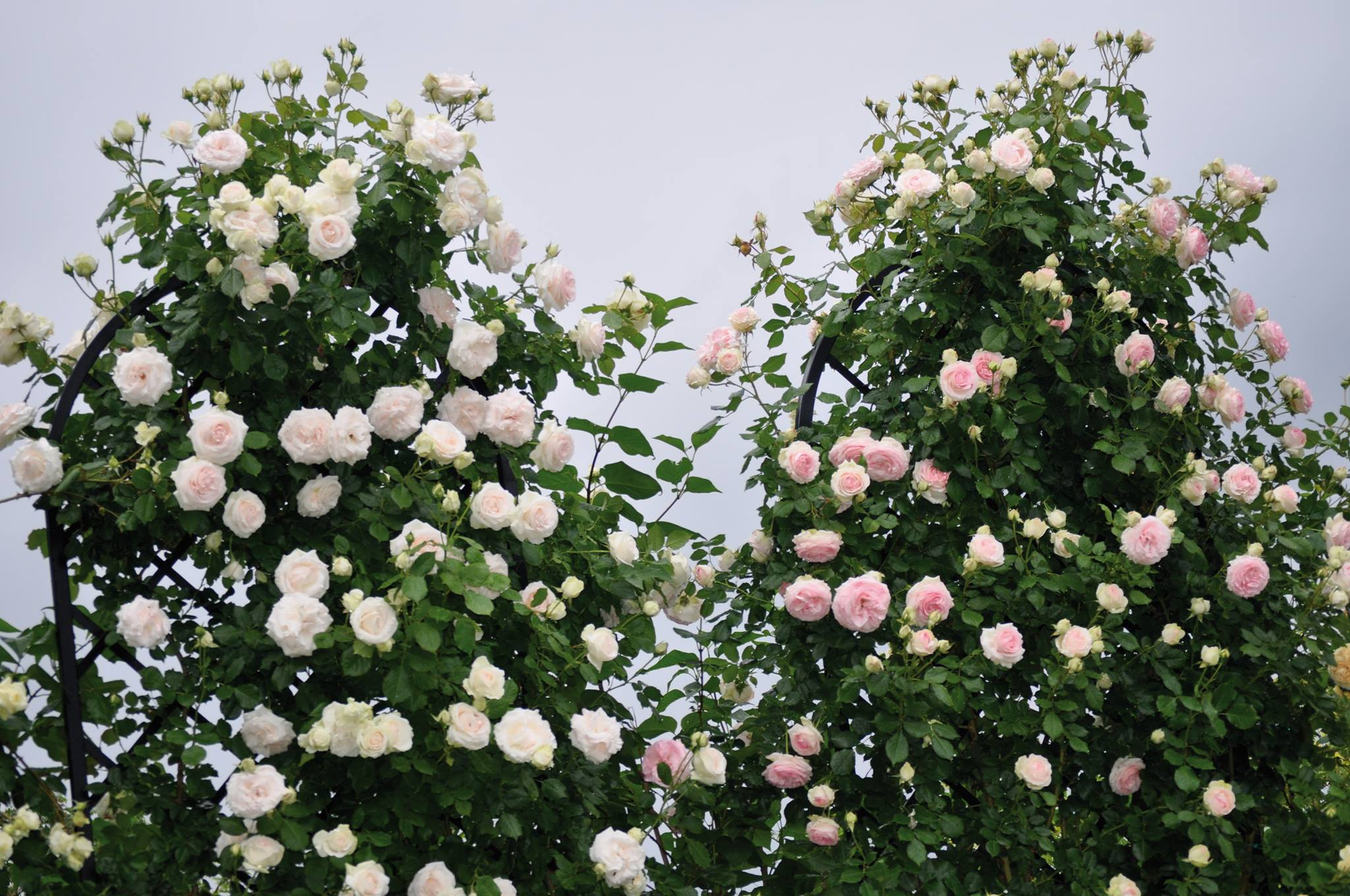 Merveilleux Two Classic Garden Elements Made To Measure U0027Beekmanu0027 Free Standing  Trellises Completely Covered By Climbing Roses By Meiland: The Stunning  U0027Palais Royalu0027 ...