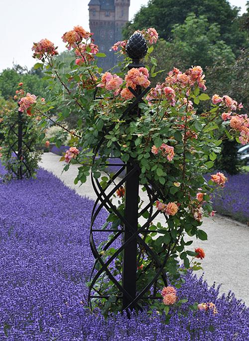 charleston-garden-trellis-with-climbing-rose-aloha-in-lavender-border
