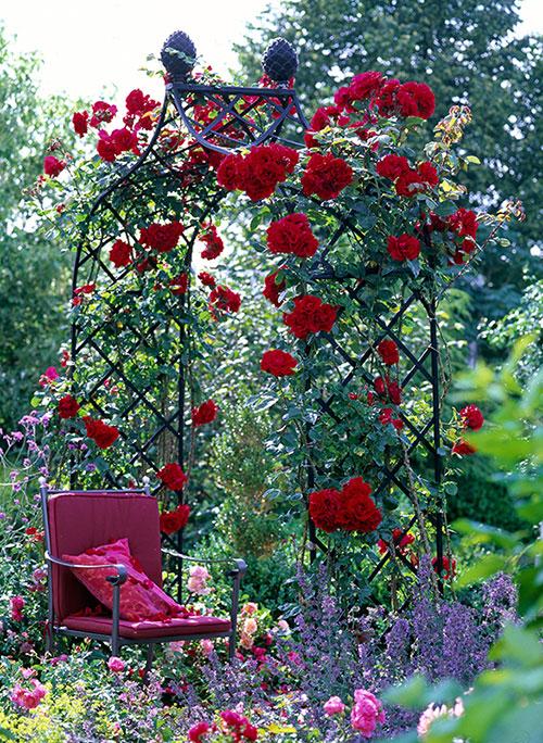 rose-arch-with-climbing-rose-santana