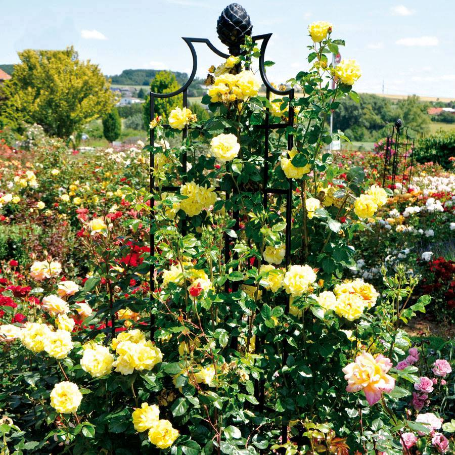 Roses In Garden: 'Golden Gate' Roses By Kordes In Full Splendour On A