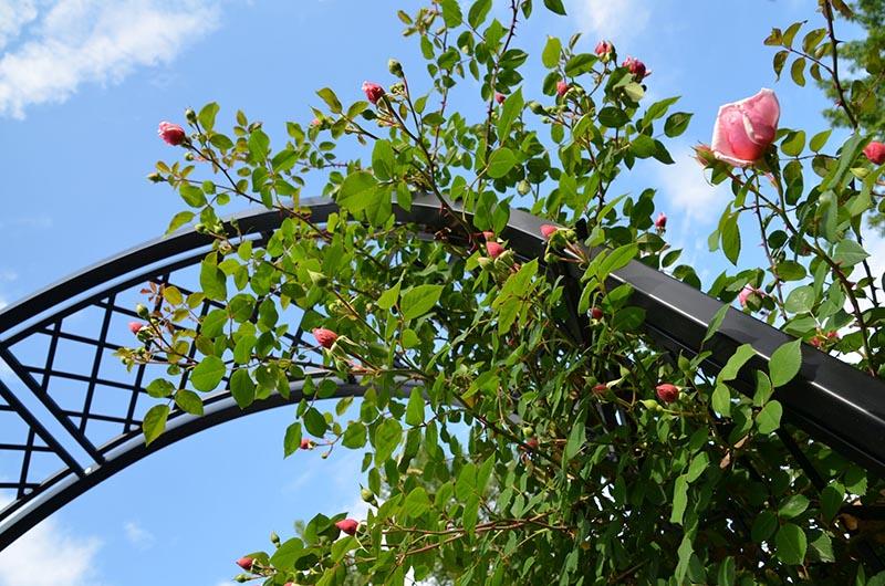 Romanischer Rosenbogen Portofino