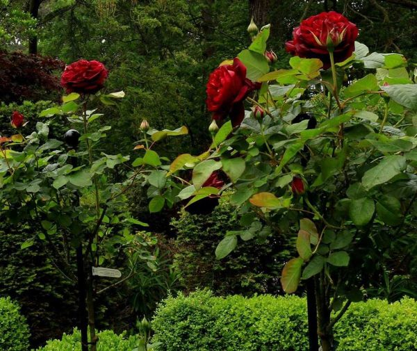 Jules Gravereaux Garden Stakes with deep purple coloured roses