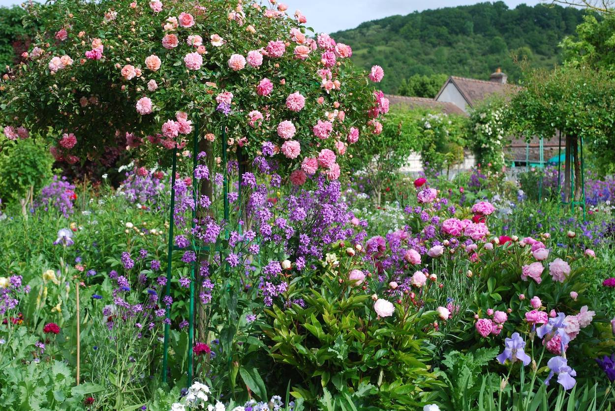 Glorious Weeping Standard Rose supplanted with peonies, dame's rocket and bearded iris in Claude Monet's Garden at Giverny.