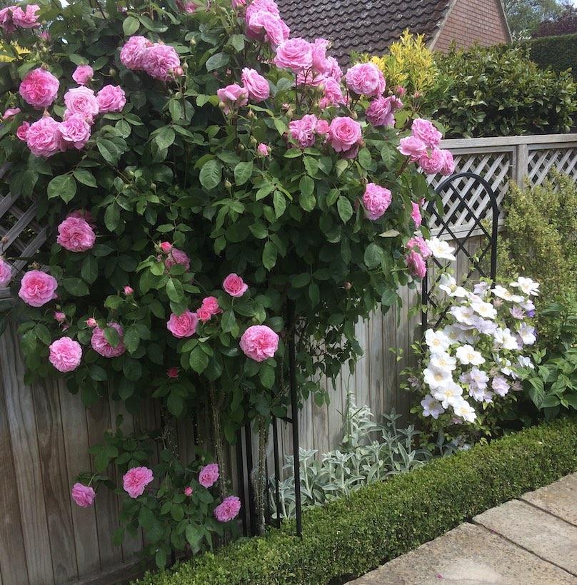 Garden Rose Metall Obelisk